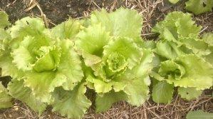Salaattia ja pihaa 13.6.2016 002